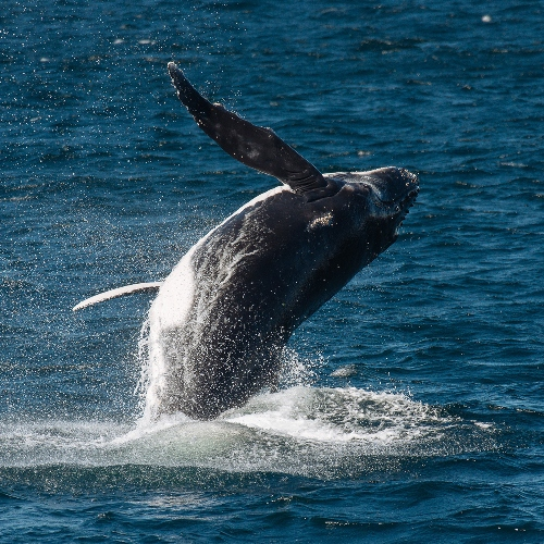 humpback whale breaching in sydney harbor